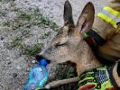 Strażacy uratowali koziołka. Napoili i zwrócili naturze