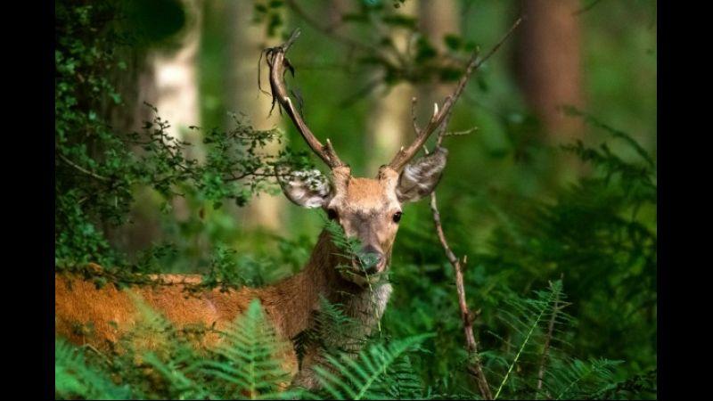Okres godowy jeleni szlachetnych – Rykowisko okiem fotografa
