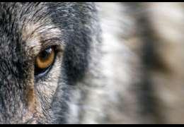 10 zagryzionych owiec przez wilki