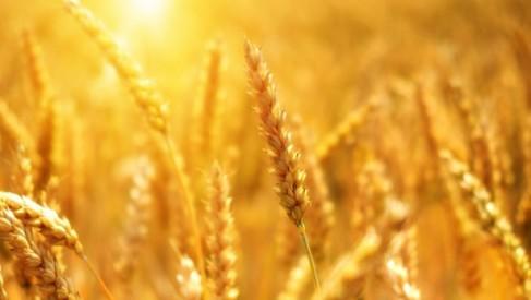 O czym warto pamiętać, decydując się na uprawę pszenicy ozimej?