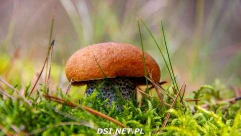 Nie jesteś pewny znalezionych grzybów. Mamy dobrą wiadomość z drawskiego SANEPID-u