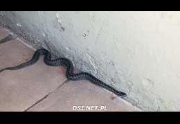 Wizyta węża w jednym z domów w Czaplinku