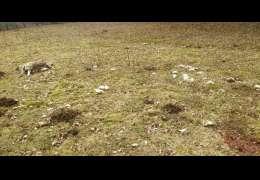 Wilki zagryzły owce w Żelisławiu. Wdarły się do stajni. Uwaga drastyczne zdjęcia